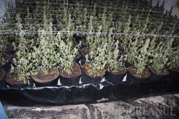 Condamnat la 5 ani de puşcărie, belgianul cu fabrică de cannabis s-a predat de bună voie, mulţumit de sentinţă