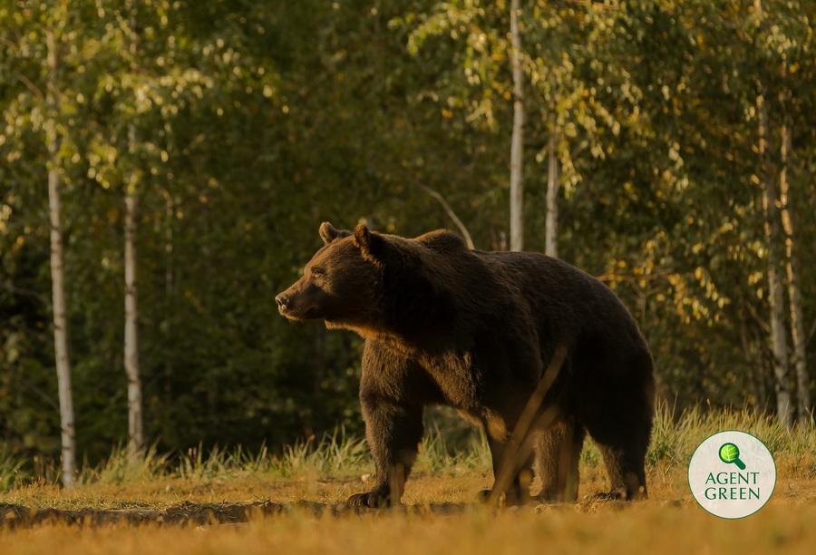 Cel mai mare urs din România, împuşcat ilegal de un prinţ din Austria. Garda de Mediu a început o anchetă